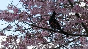 nz native plants list tui new zealand native bird youtube