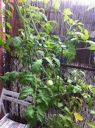tomato leaves turning yellow u2013 red garden clogs