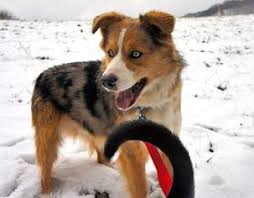 australian shepherd utah rescue view ad australian shepherd collie mix dog for adoption
