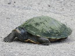 map turtle common map turtle graptemys geographica reptiles and
