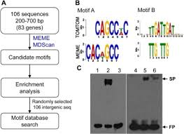 Meme Motif Search - putative mocrz1 binding motifs identified a analysis open i