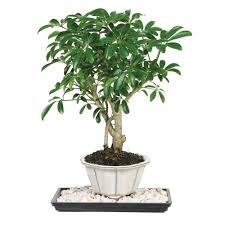 bonsai trees indoor plants the home depot
