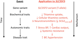 genetic implication of a novel thiamine transporter in human