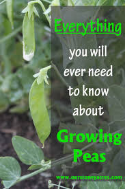 growing peas in your garden stoney acres