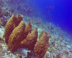 Azure Vase Sponge Facts The Daily Bucket Sponges On A Coral Reef West Indies Bucket 3