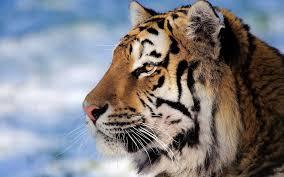 macro hd wallpaper jungle animal tiger