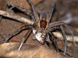 Male Spider Anatomy 5 Badass Spiders That Kill And Eat Fish D Brief