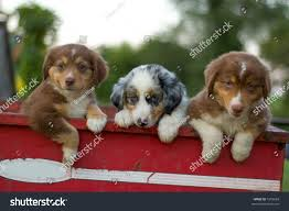 australian shepherd jack russell mix three australian shepherd puppies sitting wagon stock photo