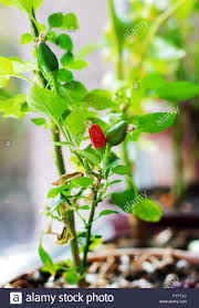 Inside Vegetable Garden by Capsicum Annuum Cultivation Of Red And Green Chili Pepper On A