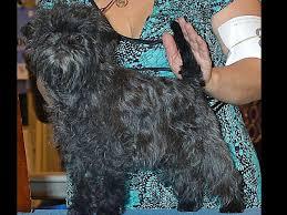 buy a affenpinscher gizmo affenpinschers puppies for sale