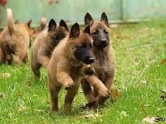 belgian shepherd stomach cancer owczarek belgijski tervueren rasy psow pinterest pies and animal