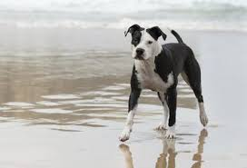 american pitbull a terrier the body types of the american pitbull terrier cuteness