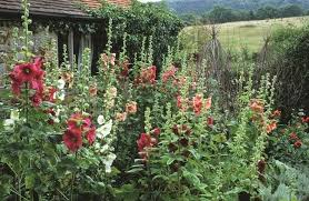 hollyhock flowers how to sow and grow hollyhocks