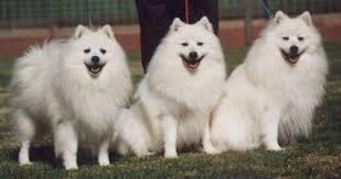 american eskimo dog price in india history japanese spitz club ph