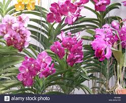orchids for sale orchids for sale in the chatuchak market thailand asia stock photo