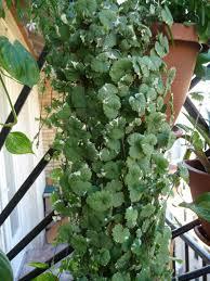 plante vivace soleil lierre terrestre u2013 paris côté jardin