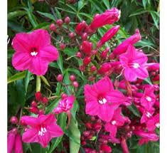 Morning Glory Climbing Plant - buy morning glory ipomea pink cardinal creeper ipomoea