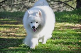 how big is american eskimo dog 30 most adorable american eskimo dog pictures and photos