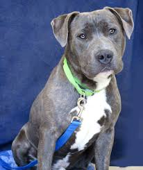 american pitbull terrier jumping before you adopt a pet u2014 end of the leash