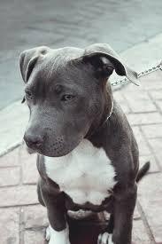 american pitbull terrier dog images best 10 pitbull terrier ideas on pinterest american pitbull