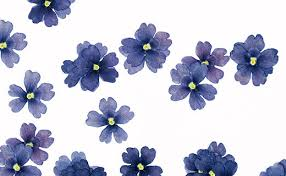 edible blue flowers dried blue verbena edible flowers neworks edelices co uk