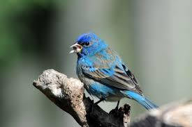 How To Attract Indigo Buntings To Your Backyard Blue Colored Birds Birds In The Yard