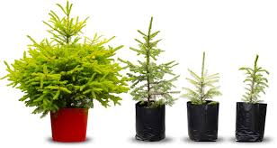 cotswold fir pot grown trees
