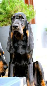 bluetick coonhound breeders ohio 302 best plotts and other hounds images on pinterest hound dog