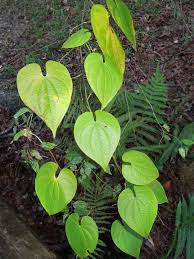 what plants are native to florida five facts air potatoes in florida u2013 floridamuseumscience