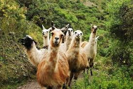 Llama Meme - you came to the wrong neighborhood motherfucker imgur