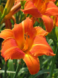 day lilies orange vols oakes daylilies