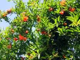 thegardenpages pomegranate page with pests growth and care