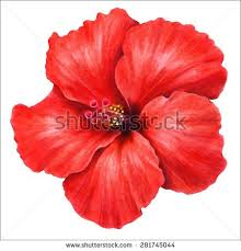 pictures of hibiscus flowers to color best flower in the word 2017
