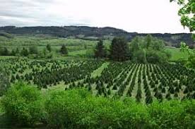 how to start a christmas tree farm profitable plants digest