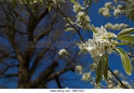 weeping pear pyrus salicifolia stock photos weeping pear pyrus