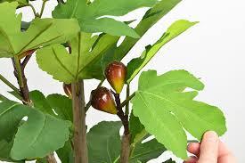 ornamental fig tree 68cm fruit trees