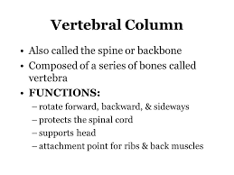 vertebral column also called the spine or backbone composed of a