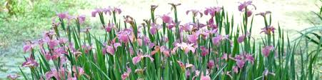 Irises How To Plant Grow by Growing Tips