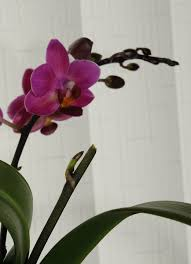 how to care for your phalaenopsis moth orchid a step by step