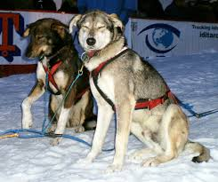 poor veterinary care sled dog action coalition