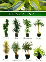 best 25 dracaena plant ideas on inside house plants