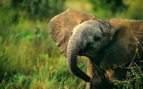 free elephant backgrounds wallpaper wiki