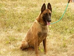 belgian sheepdog houston tx belgian malinois german shepherd cross canis lupis familiaris