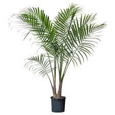 ravenea potted plant ikea