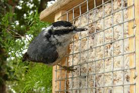 what birds eat suet and how to attract them