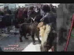 belgian shepherd vs pitbull fight killer bullterrier hund dog pit bull fight blood vidéo dailymotion