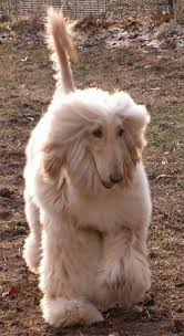 afghan hound pictures afghan hound dog breed pictures 1