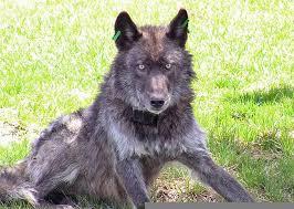 belgian shepherd washington state washington state wolf population grows by 1 the columbian