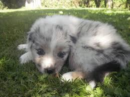 australian shepherd 8 wochen bewitched silver dream of blue angeldust u2013 blue angeldust