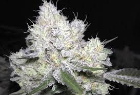 wedding cake genetics wedding cake strain information cannafo marijuana cannabis